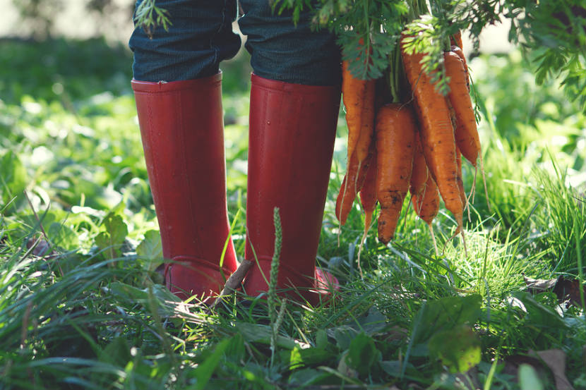 person in rain boots holding a bunch of carrots