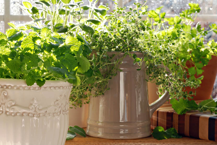 herb growing in pots