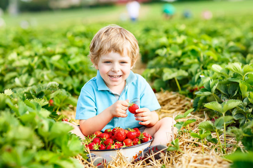 toddler boy eating strawberries in a strawberry patch
